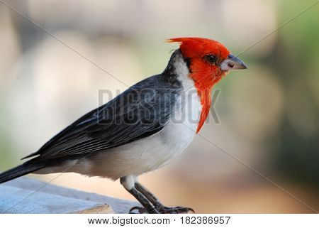 Up close with a red crested cardinal bird in Maui Hawaii.