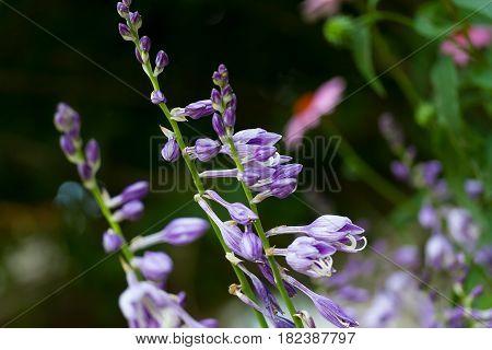A blooming Hostas plants in the garden
