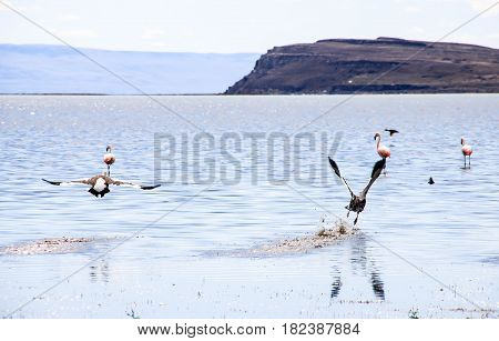 Lake with flock of the wild birds. Rosa flamingos on the background in El Calafate, Argentina.
