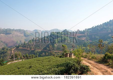 Chiang Rai, Thailand. - Feb 28 2015: View Of Tea Plantation. Landscape Of Tea Plantation At Doi Mae