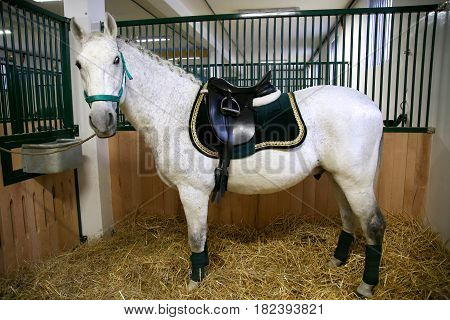 Gray colored lipizzan saddle horse waiting for riders