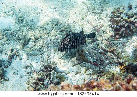 Guineafowl puffer ( Arothron meleagris ) swimming around the reef