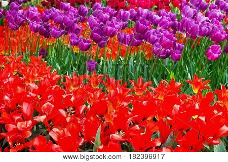 flowerbed with red and purple tulips in the park