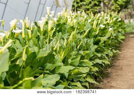 White Calla Flowers Blossom In The Greenhouse Garden