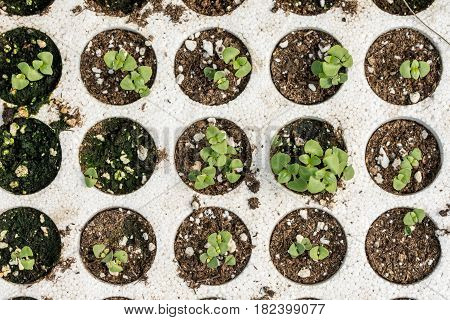 Closeup Macro Of Young Basil Plants Seedlings In Styrofoam Flat Lay Overview