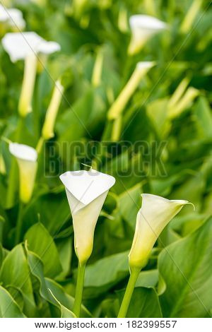 Vertical Orientation White Calla Flowers In The Greenhouse With Blurred Background