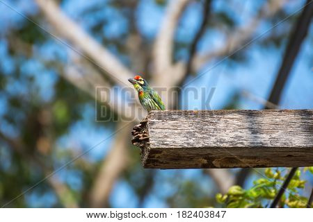 Bird (coppersmith Barbet) On Hollow Wood