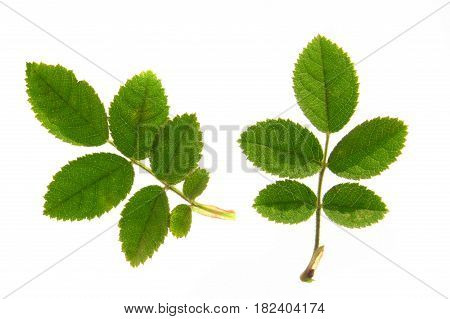 dogrose green isolated on a white background