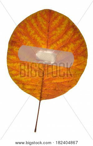 Red leaf isolated on a white background