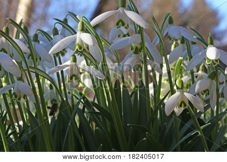 blossoming snowdrops in the garden (Galanthus nivalis)