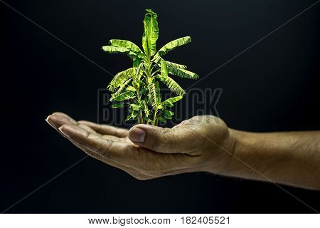 Hand Holding Banana Tree