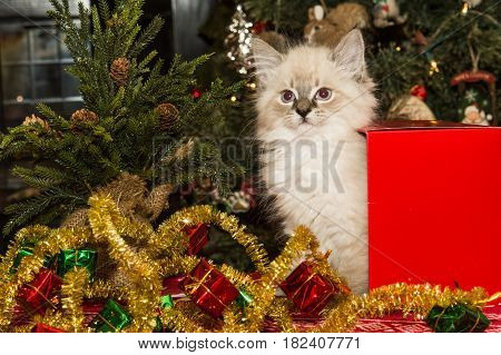 A Kitten playing in a Christmas gift box