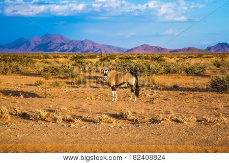Oryx standing at the road in the savannah. Dirt road in the African steppe. The concept of exotic tourism. Travel to Namibia
