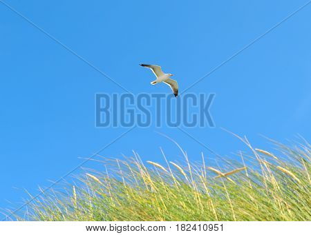 On the Beach by the Sea - Seagull flying over dune grass on a beautiful day