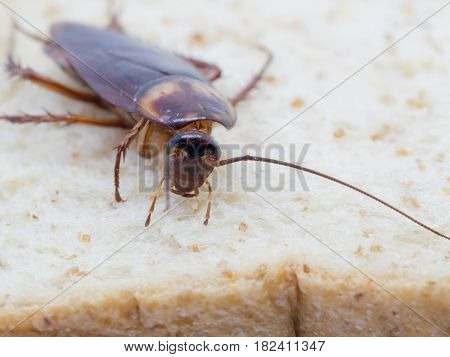 Closeup cockroach on the whole wheat bread. Cockroaches are carriers of the disease.