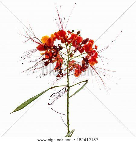 background nature Flower Caesalpinia pulcherrima. White background