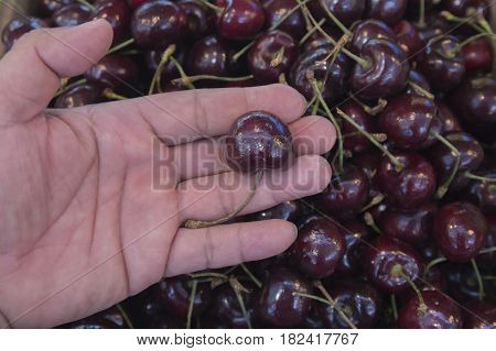 Hand picking fresh delicious cherry closeup with selective and soft focus.