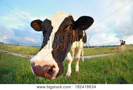cow's head close up on pasture outdoors