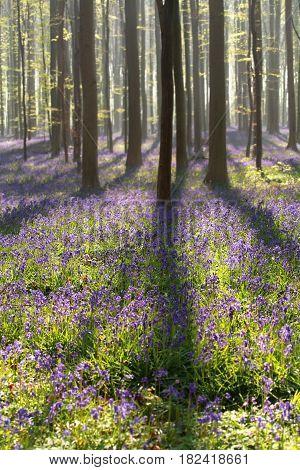 sunlight in flowering beech forest Hallerbos, Belgium