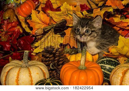 A cute kitten playing with pumpkins in fall leaves.