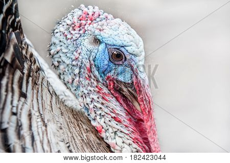 Head of an adult Turkey with beak and eyes closeup