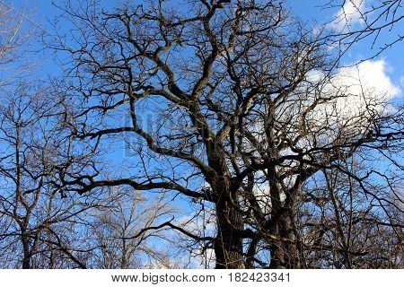 Bare trees on the blue spring sky background. Spring landscape with oak trees and spring sky.