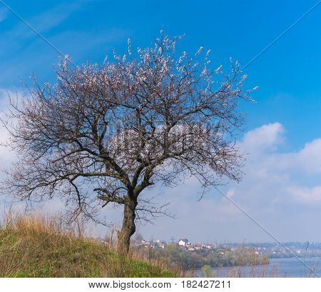 Wild lonely apricot tree on a hilly riverside at flowering time against blue spring sky