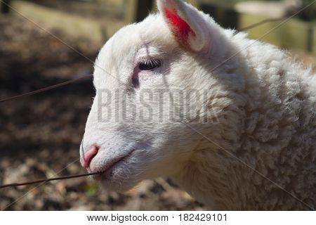 sheep biting broach portrait white lamb agriculture farming livestock