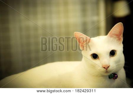 Siamese cat, Thai cat, pet in house, white color cat