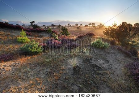 beautiful sunrise over dunes and flowering heather in summer