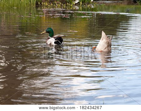 Two Mallards Close Up In A Pond, Male And Female, With One Bobbing And Diving Under The Water