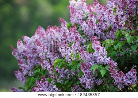 A Beautiful Bunch Of Lilac Closeup.