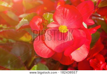 Spring flowers of red begonia at the flowerbed - spring flowers background. Closeup of red begonia flower. Spring flowers background with red begonia spring flowers