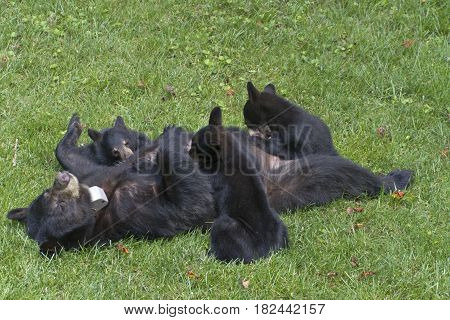 A mother black bear lays on her back and allows her three young cubs to nurse on a neighborhood lawn in summer