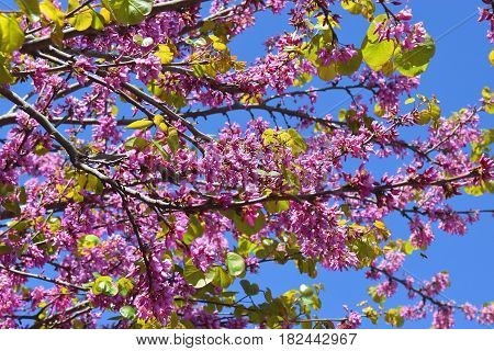 red flowers of judas tree on a background of blue sky