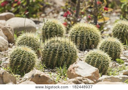 Barrel Cactus Plants In An Arid Desert Garden