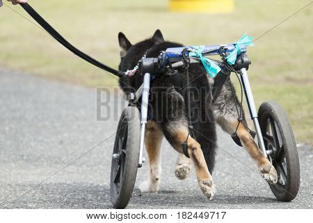 A dog is able to go for a walk with the help of a dogie wheelchair