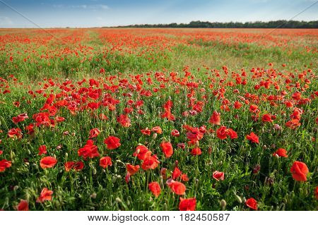 Poppy farming, nature, agriculture concept - huge field of blooming poppies, industrial farming of poppy flowers in open ground, active flowering crops on a field of poppies - empty space for text