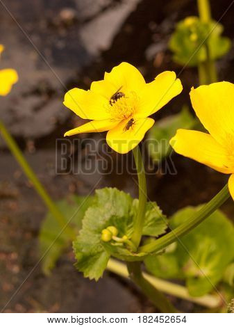 An Isolated Giant Yellow Buttercup In The Pond With Two Insects, Flies Upon It