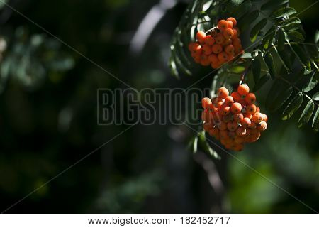 Orange hawthorn berries ripen on a tree branch in later summer.