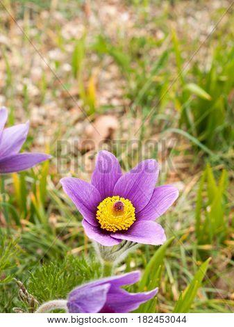 Gorgeous Purple And Yellow Macro Of Pulsatilla Vulgaris