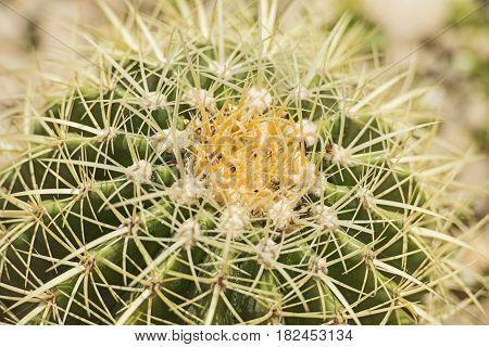 Barrel Cactus Plant In An Arid Desert Garden