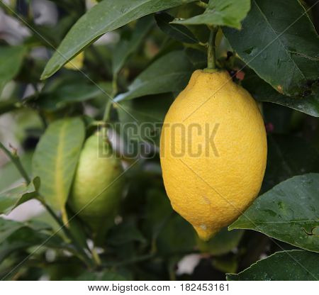 Organic Lemon Yellow In The Farm That Cultivates Plants With Org