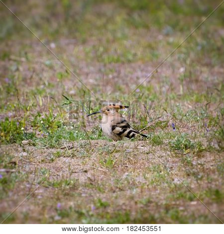 Photo of the Single Hoopoe at Grass