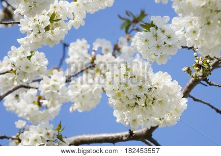 Photo of the Spring Cherry Flower Blossom