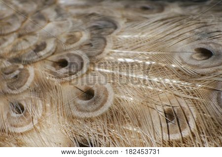 Photo of the beige Peacock Feather Background