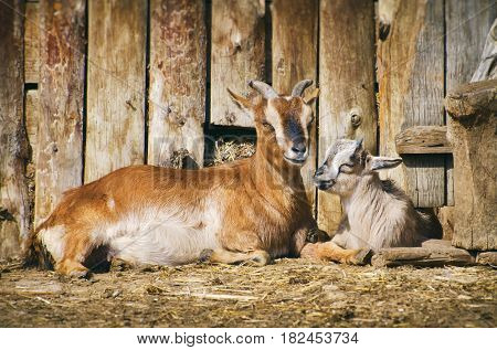 Photo of Farm Yard With Goats at Rest
