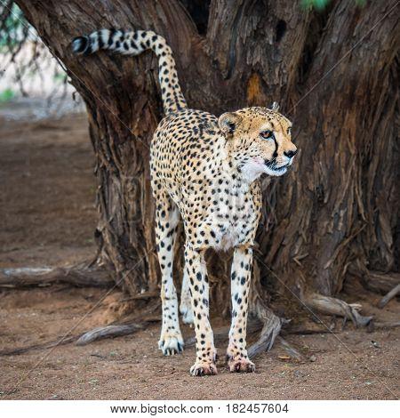 Cheetah in Kalahari desert Namibia South Africa