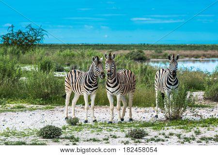 Zebras in Etosha national park Namibia Africa
