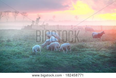 sheep and lambs graze on pasture at sunrise Holland